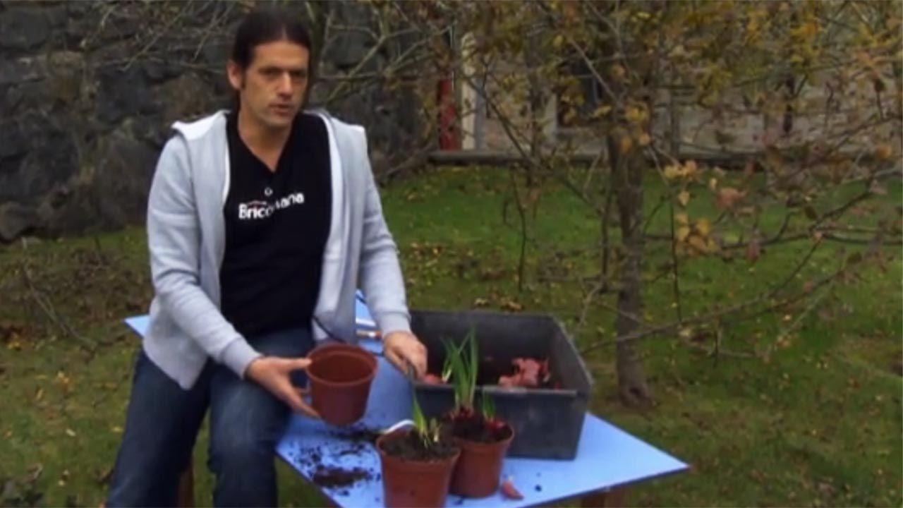 Cómo plantar las cebollas brotadas