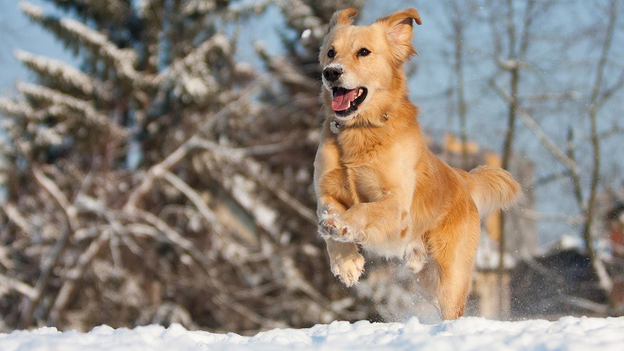 Perro corriendo feliz por la nieve