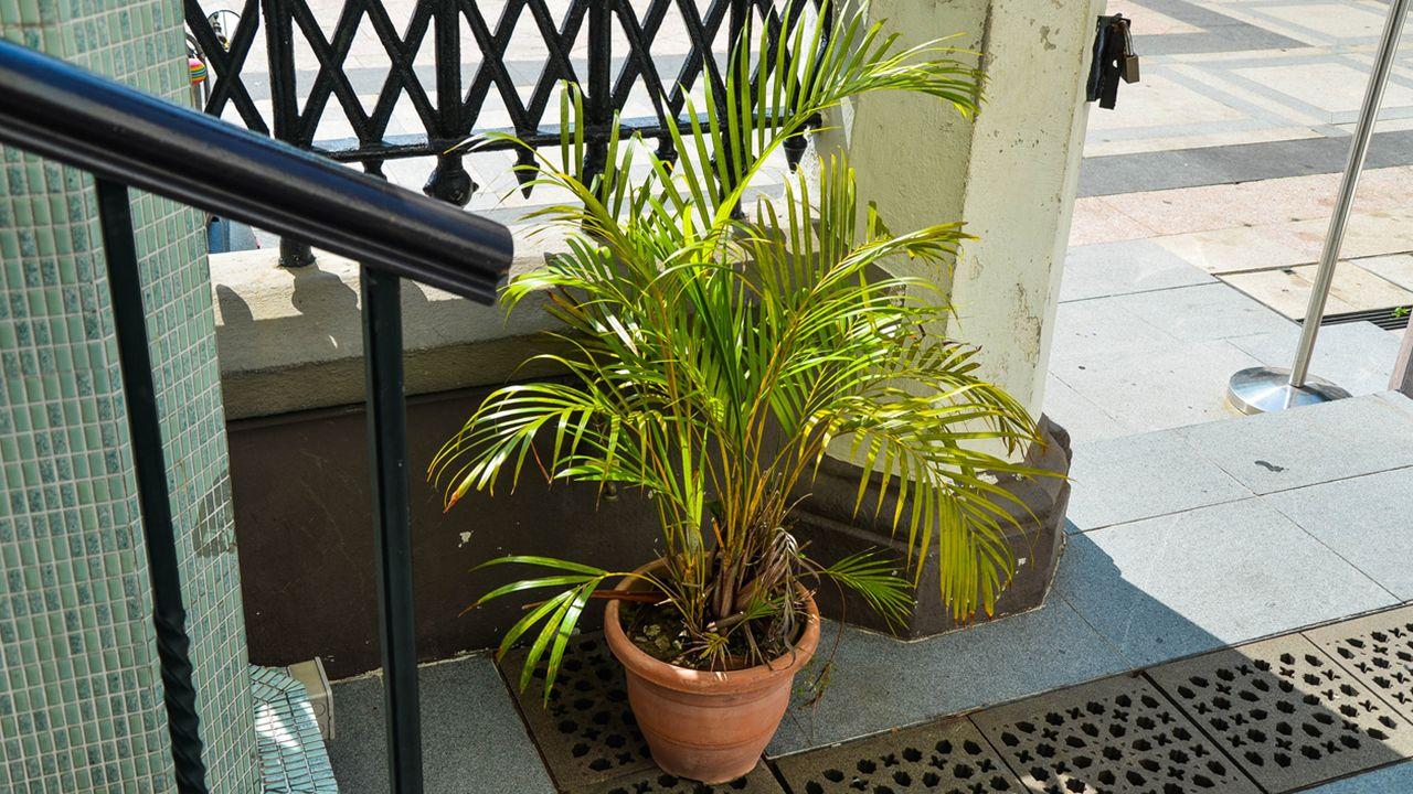 Areca o palmera amarilla - Jardinatis