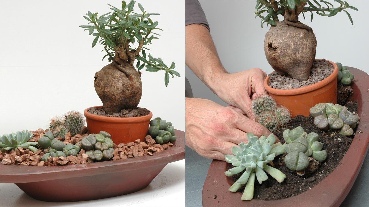 Composición con lithops o plantas piedras