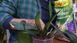¿Cómo se trasplanta una orquídea phalaenopsis?