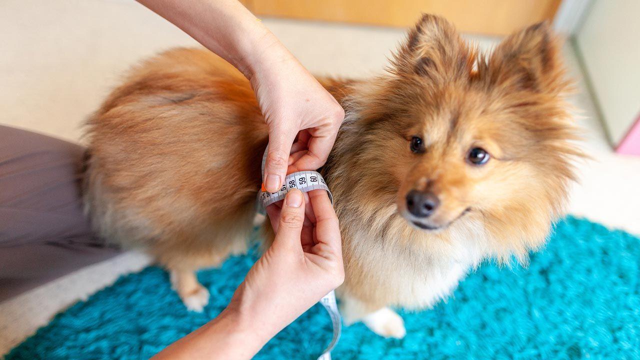 Persona midiendo a su perro con una cinta métrica