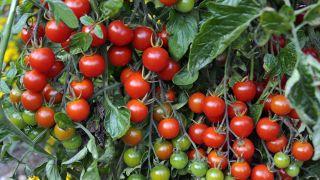El cultivo de los tomates cherrys