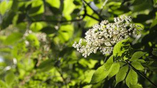 Imagen de flores de sáuco.