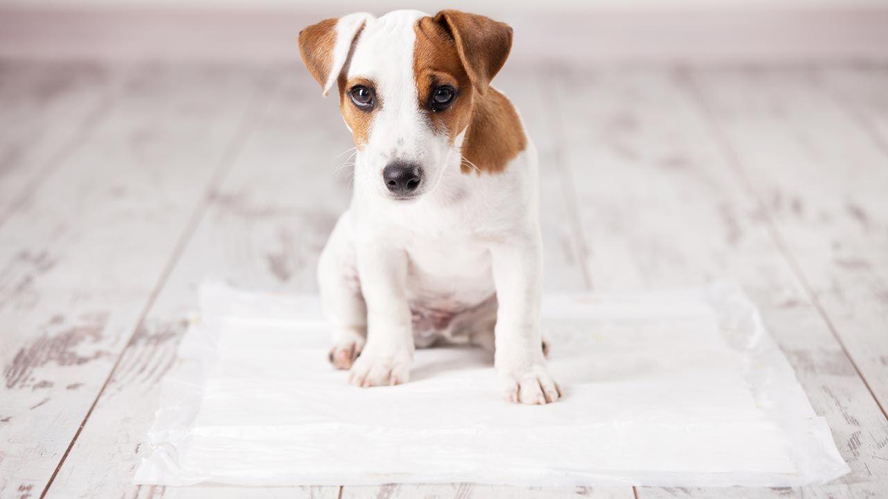 Cachorro sobre un empapador
