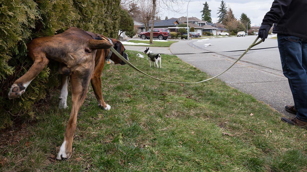 Perro adulto orinando en la calle