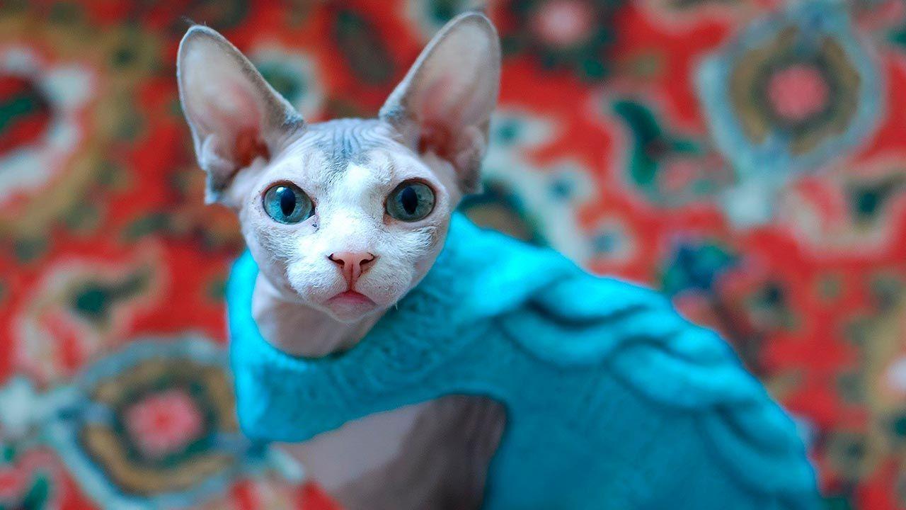 Gato esfinge con un jersey