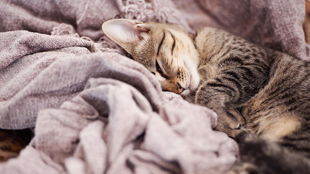 Gato envuelto en una manta
