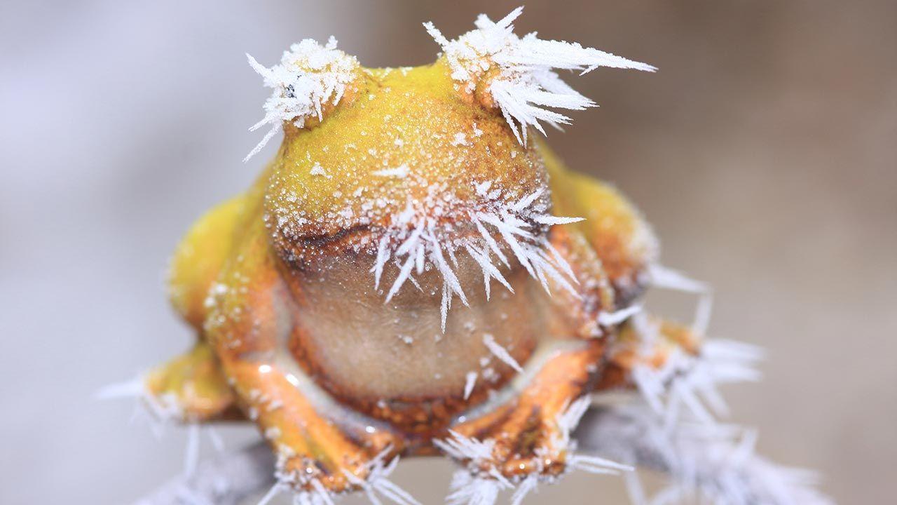 Rana congelada durante su hibernación