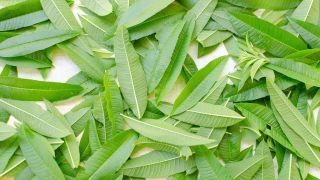 Hierbaluisa, planta medicinal calmante y tonificante - Recolección