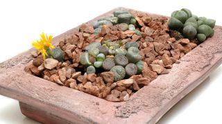 Composición floral con cactus piedra o lithops