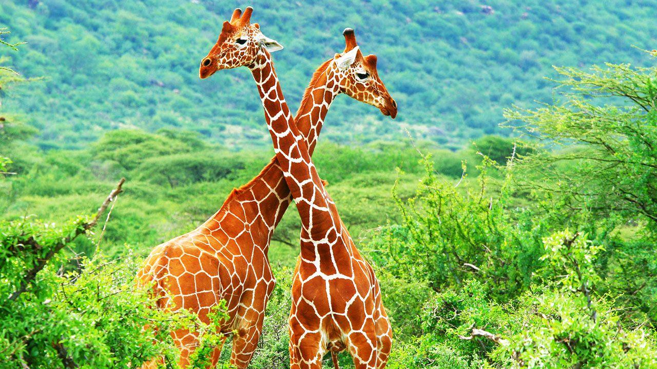 Dos jirafas uniendo sus cuellos
