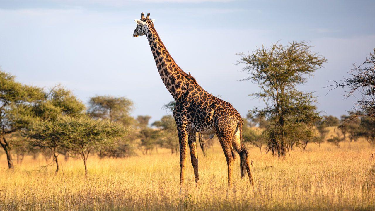 Jirafa en la sabana africana