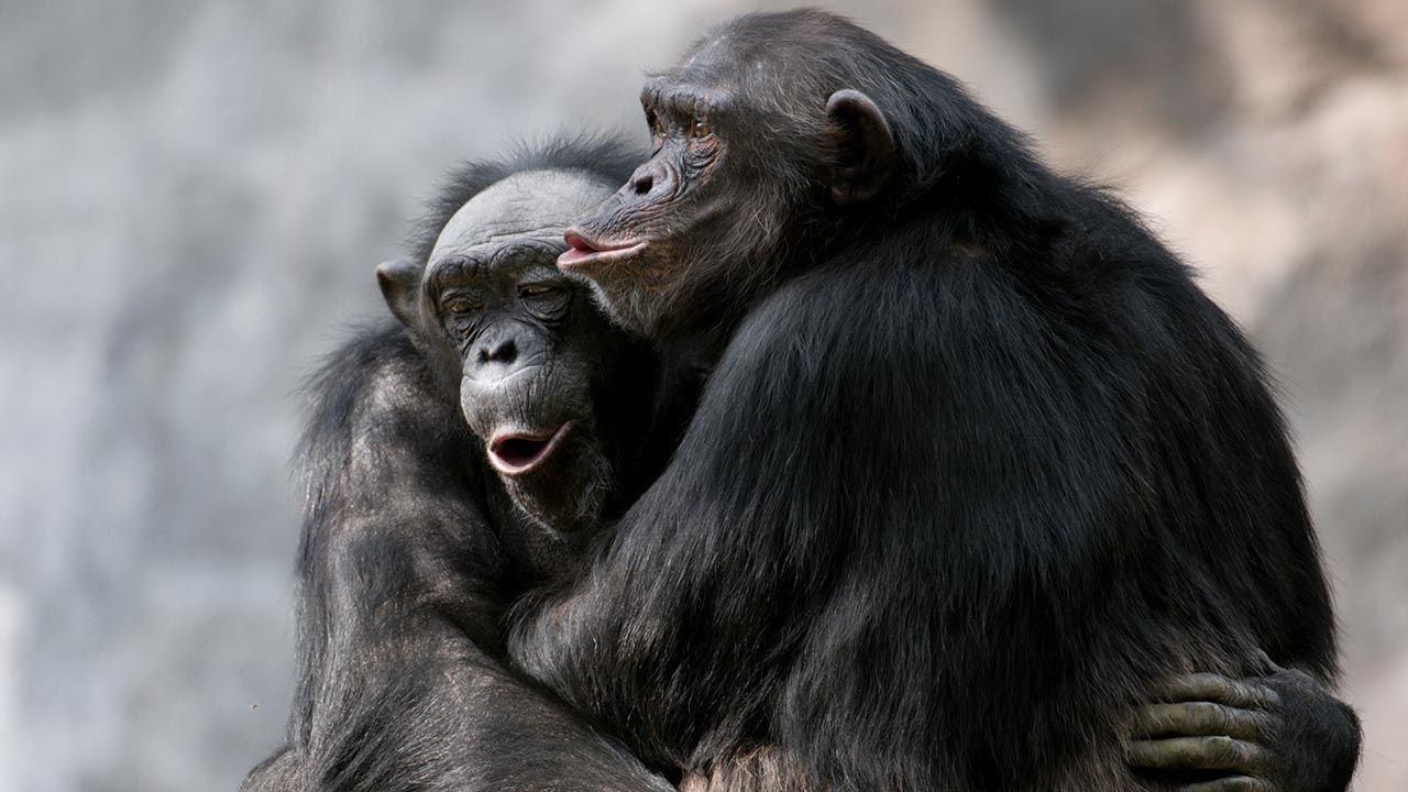 Abrazo entre chimpancés