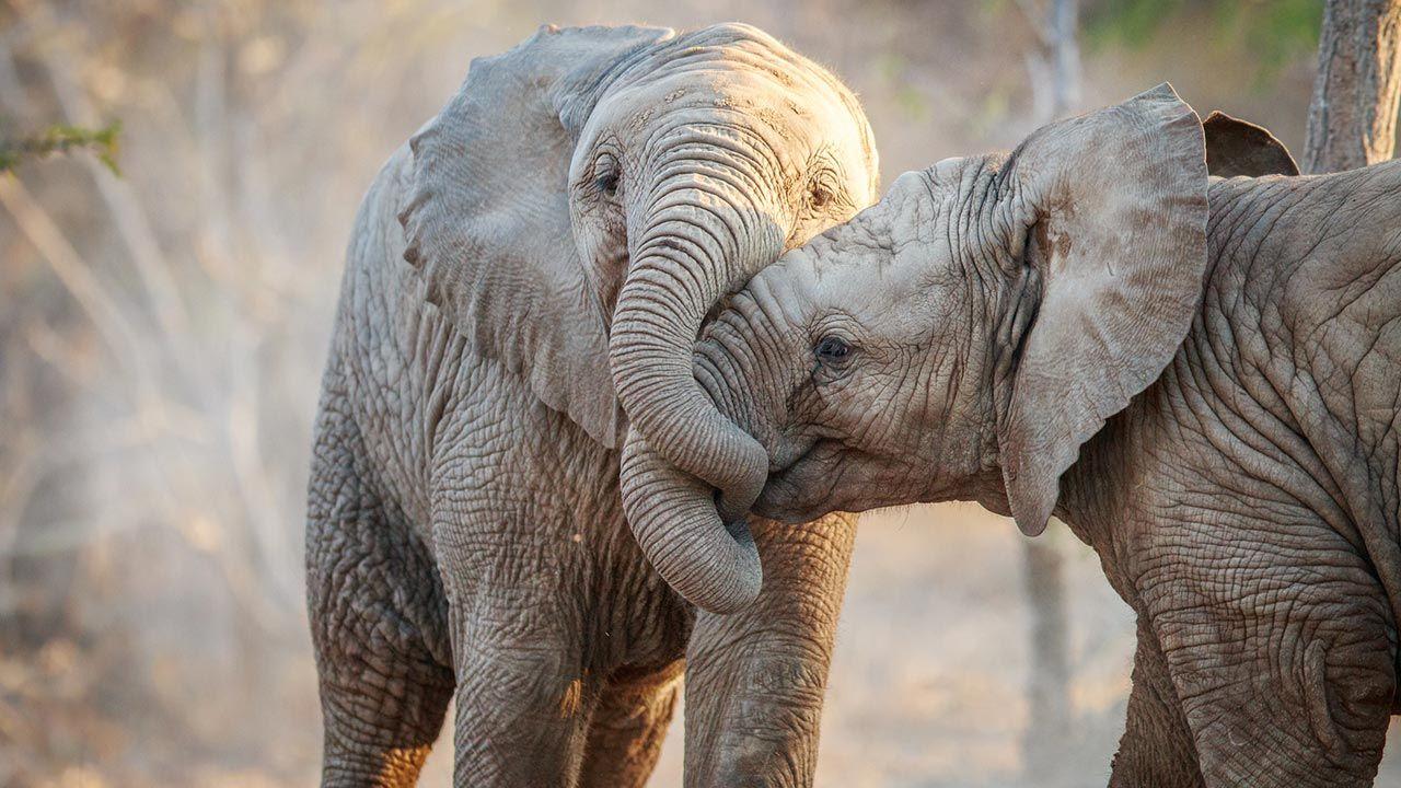 Abrazo entre elefantes