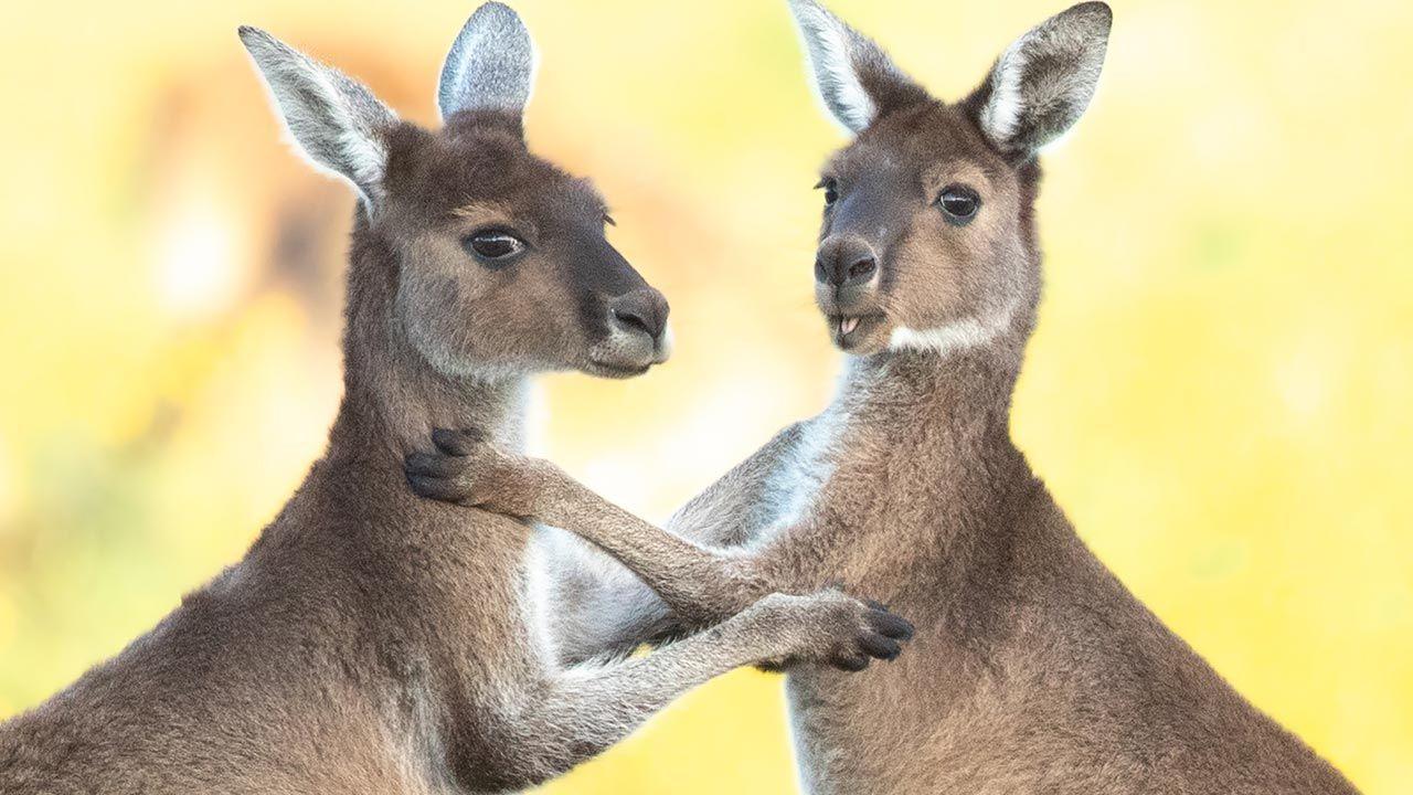 Abrazo entre canguros