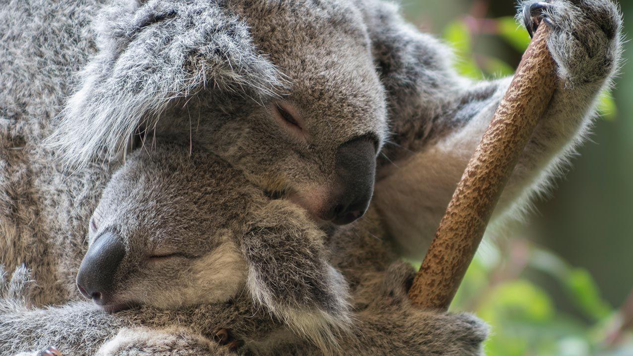 Abrazo entre una madre koala y su cría