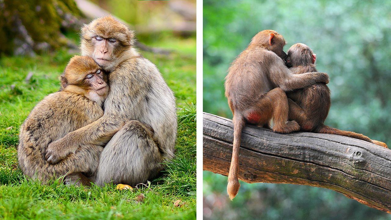 Abrazos entre monos