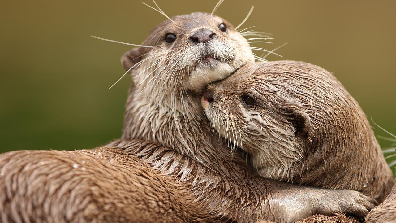 Abrazo entre nutrias