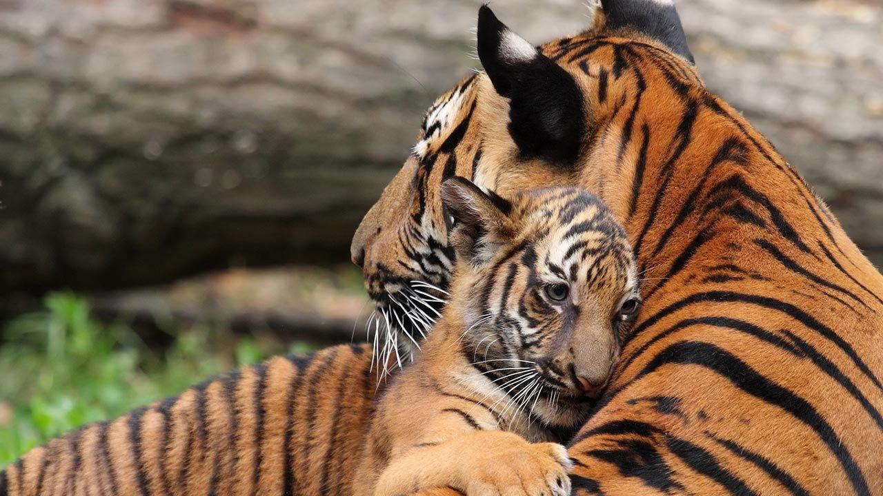 Abrazo entre una madre tigre y su cría