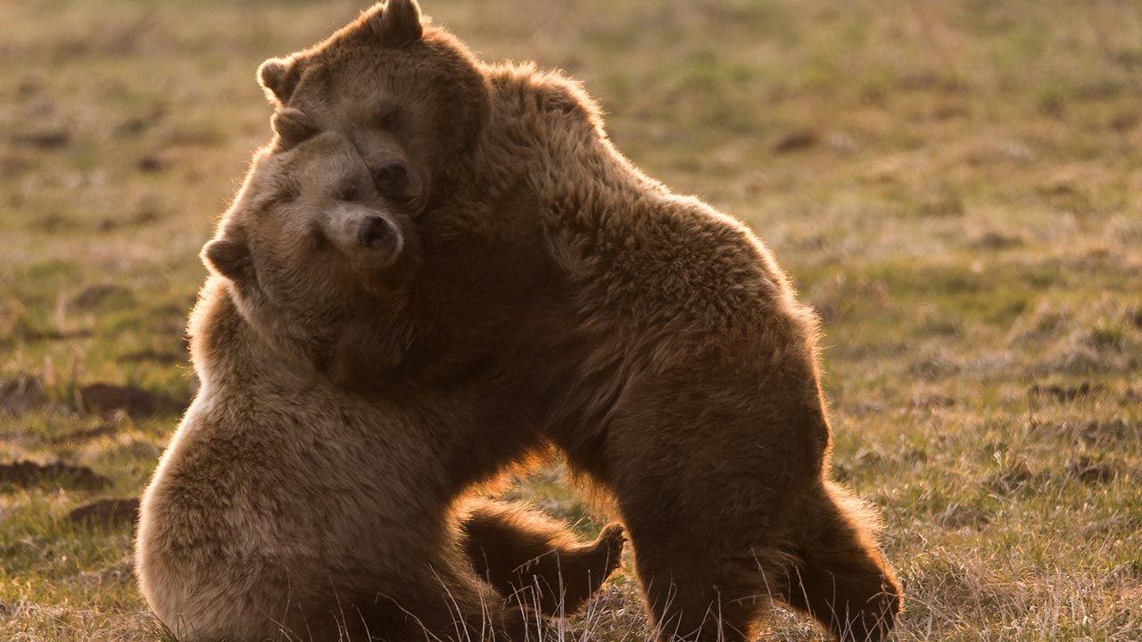Abrazo entre osos