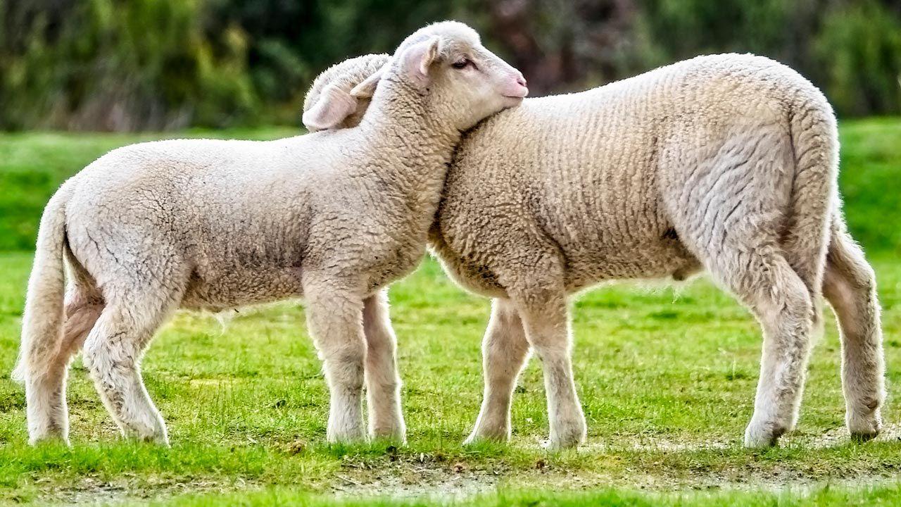 Abrazo entre ovejas