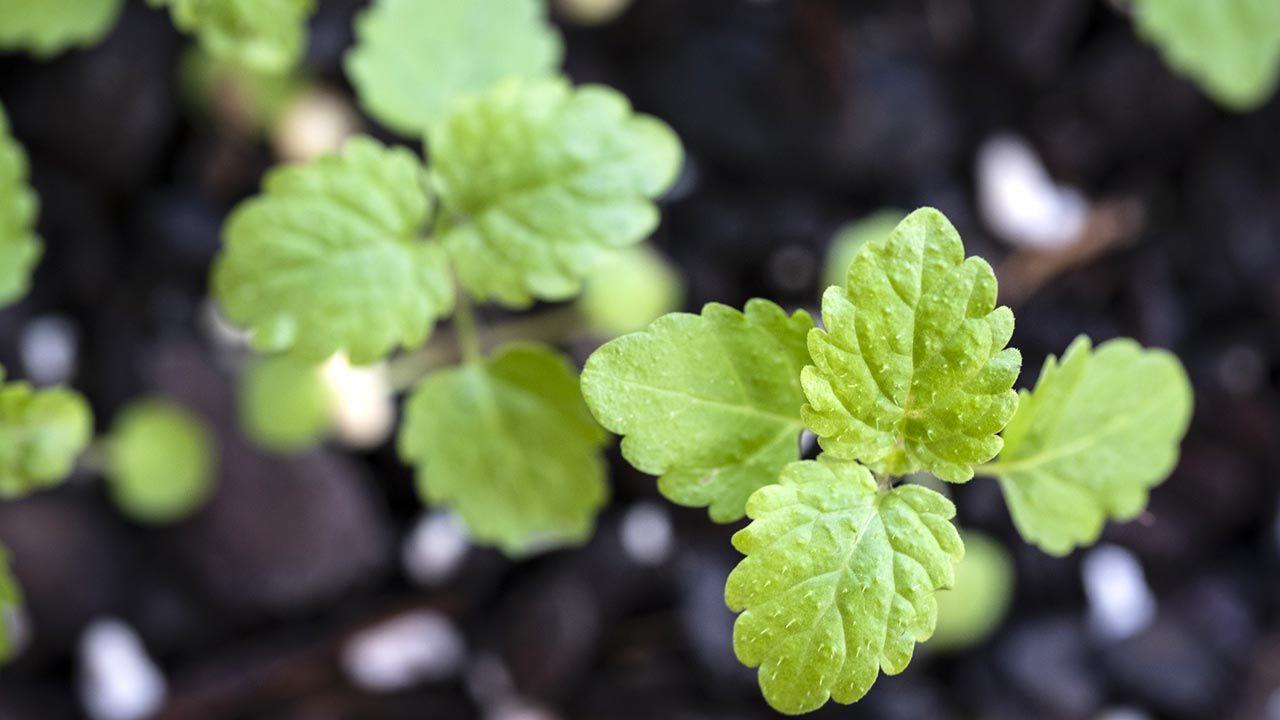 Melisa, planta medicinal relajante y tonificante