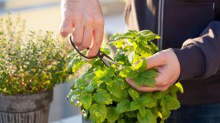 Melisa, planta medicinal relajante y tonificante - Recolección