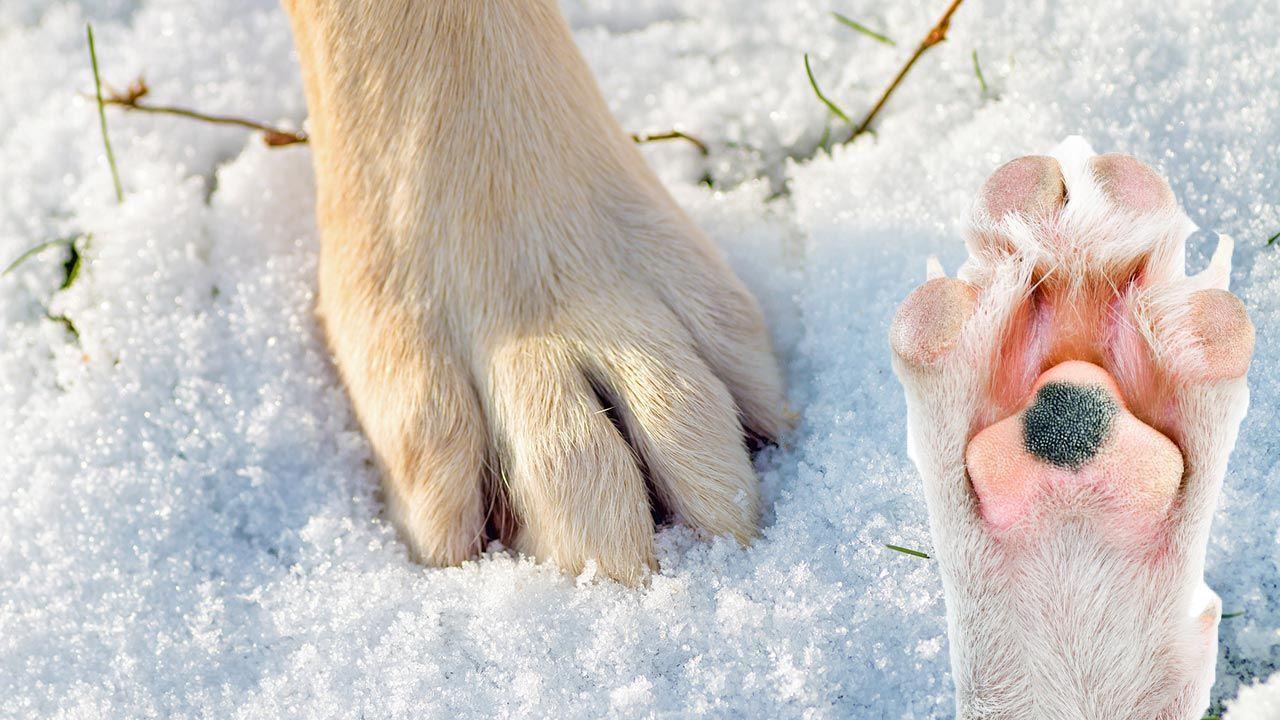 Pata y almohadilla de perro