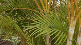Areca o palmera amarilla