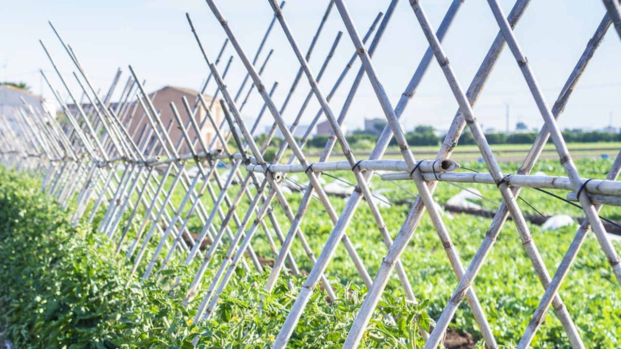 Plantar y entutorar tomates cherry