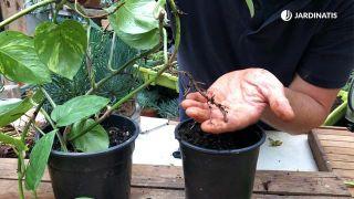 cómo se acoda una planta de poto en casa