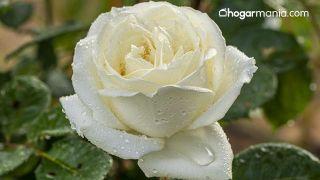 Cómo hacer una bomba de baño efervescente de flores - Rosa blanca
