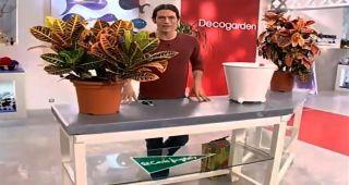 crotón o Codiaeum variegatum