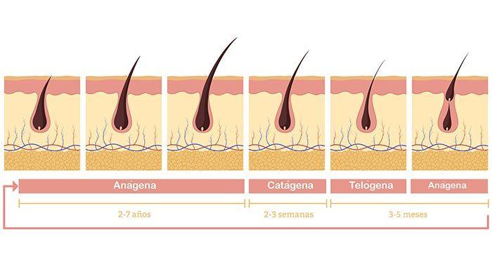 ¿Cuánto crece el pelo en un mes? - Fases del ciclo capilar