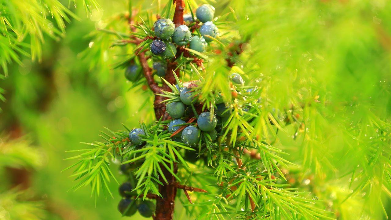 Enebro, planta medicinal antiséptica y antirreumática - Cultivo