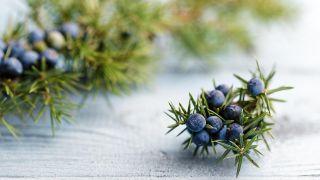 Enebro, planta medicinal antiséptica y antirreumática - Tintura