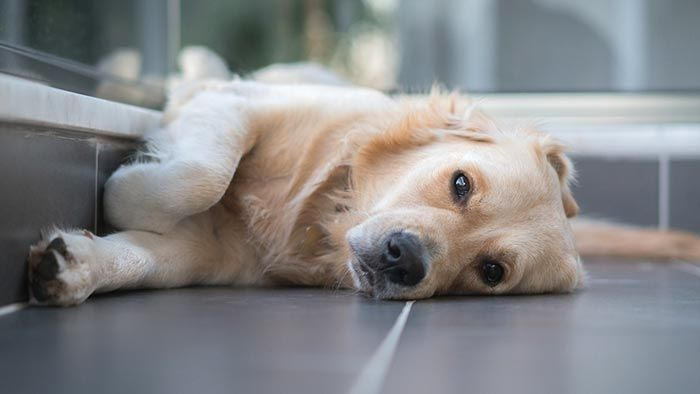 Perro tras su ataque epiléptico