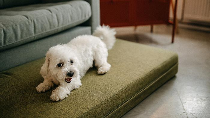 Perro con ataque epiléptico