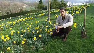 Jardín de narcisos