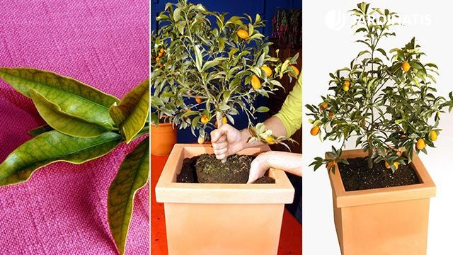 Los kumquat: características y trasplante en contenedor