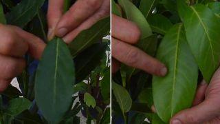 Diferencias entre el laurel y el laurel cerezo