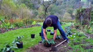 """Plantación con Prunus laurocerasus """"Mount Vernon"""""""