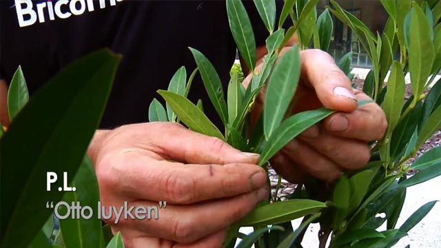 """Prunus laurocerasus """"Otto Luyken"""""""