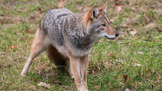 Lobo ibérico de perfil