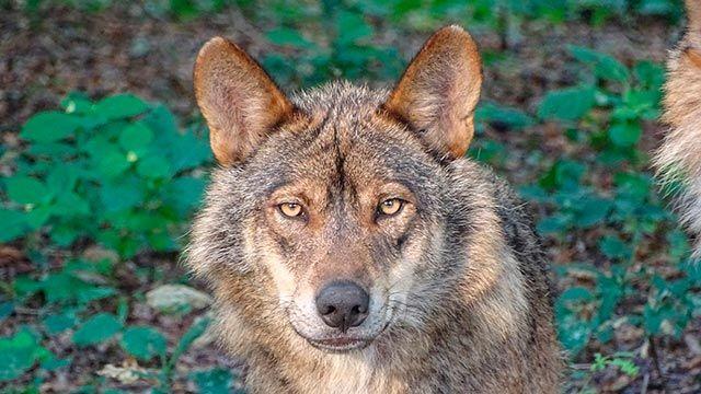 Lobo ibérico mirando de frente