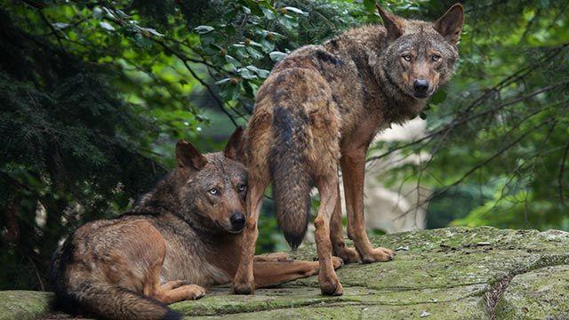 Una pareja de lobos ibéricos descansando