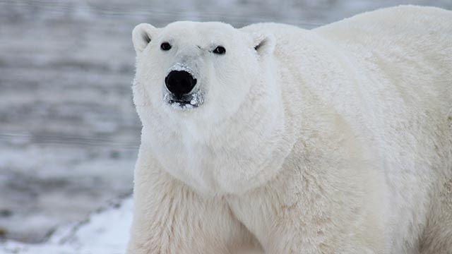 Oso polar de frente