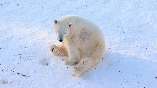 Oso polar sentado en la nieve