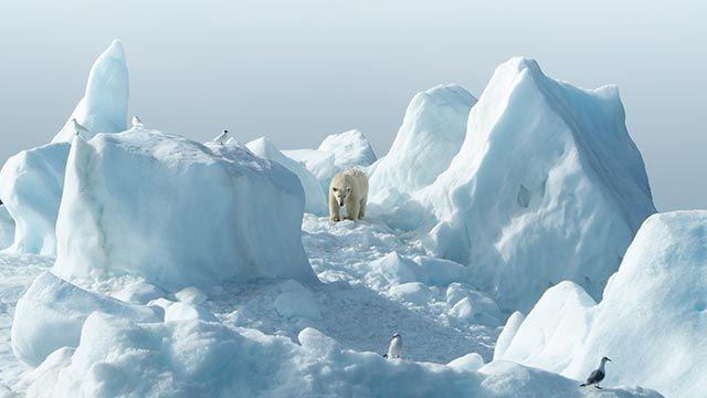 Oso polar buscando sus presas entre la nieve